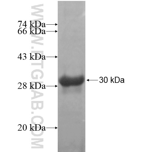 CUL4B fusion protein Ag15441 SDS-PAGE