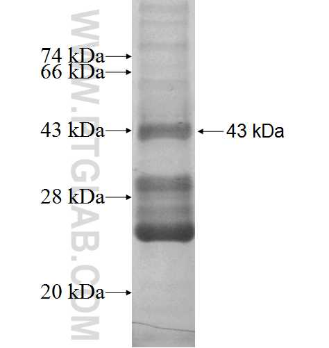 CXCL13 fusion protein Ag1358 SDS-PAGE