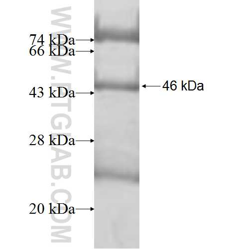 CYP19A1 fusion protein Ag9765 SDS-PAGE