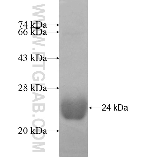 DCTD fusion protein Ag10245 SDS-PAGE