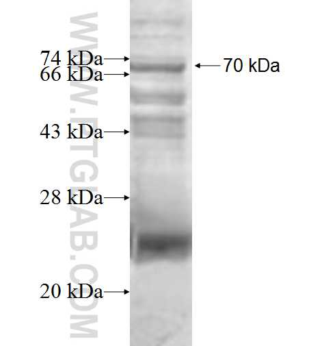 DDR1 fusion protein Ag0794 SDS-PAGE