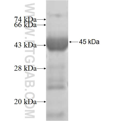 DDX19A fusion protein Ag7529 SDS-PAGE