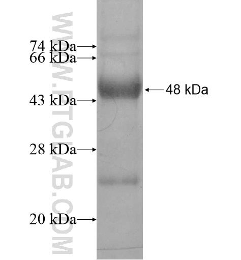 DDX19B fusion protein Ag13165 SDS-PAGE
