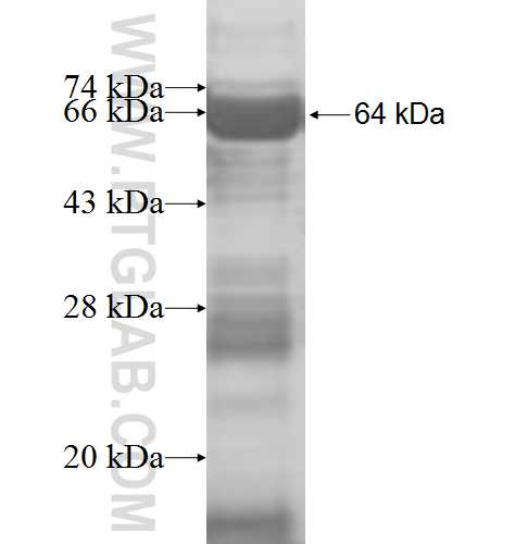 DDX24 fusion protein Ag8407 SDS-PAGE