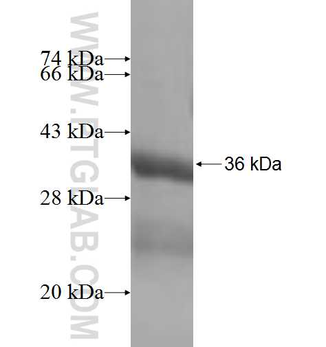 DEXI fusion protein Ag6535 SDS-PAGE
