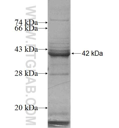 DGCR8 fusion protein Ag4871 SDS-PAGE