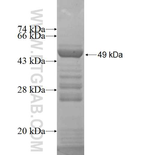 DHODH fusion protein Ag6810 SDS-PAGE