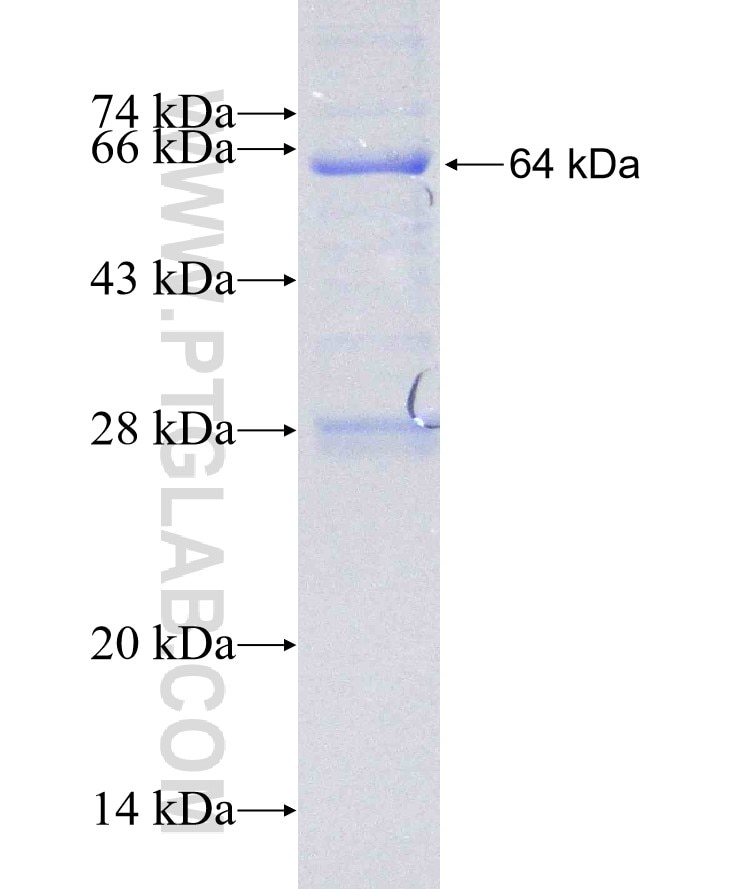 DIS3 fusion protein Ag6117 SDS-PAGE