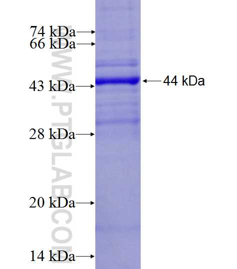 DMC1 fusion protein Ag4653 SDS-PAGE