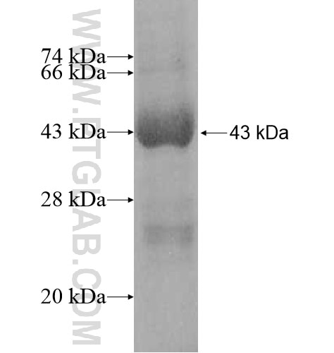 DNAJC24 fusion protein Ag11896 SDS-PAGE