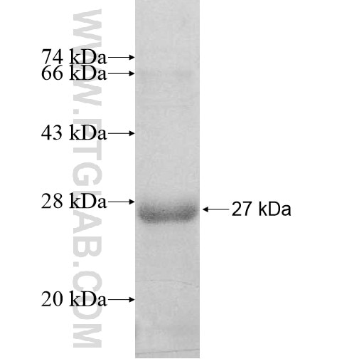 DNAJC5B fusion protein Ag10744 SDS-PAGE
