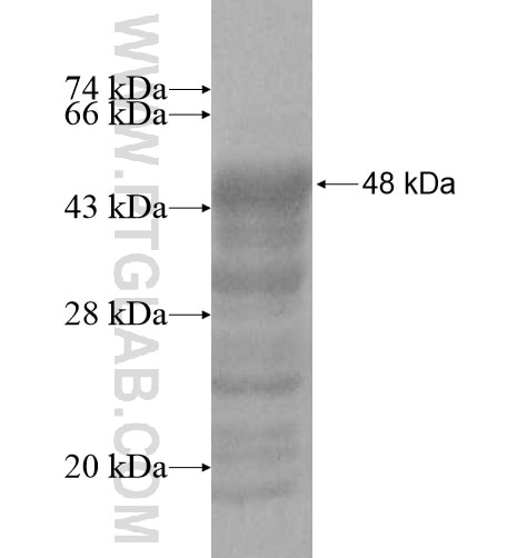 DNAJC5B fusion protein Ag10769 SDS-PAGE