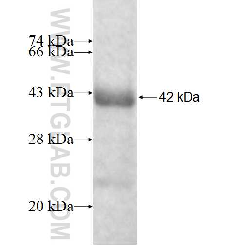 DNASE2 fusion protein Ag8952 SDS-PAGE