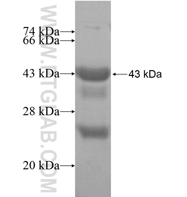 DPF1 fusion protein Ag16409 SDS-PAGE