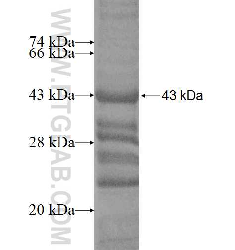 DPYSL2 fusion protein Ag5985 SDS-PAGE