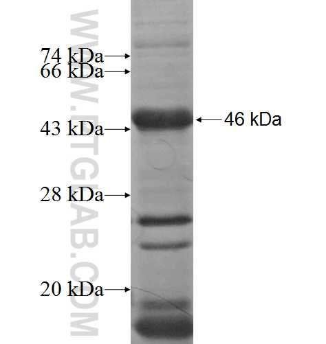 DSC2 fusion protein Ag5450 SDS-PAGE