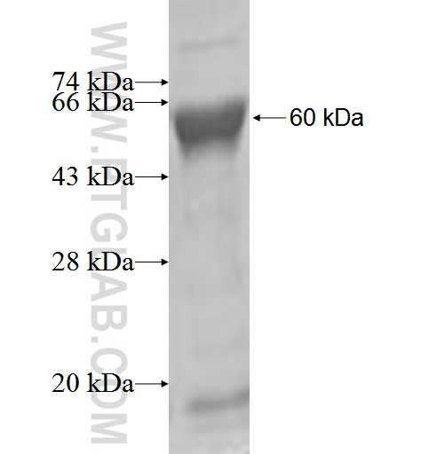 DTNB fusion protein Ag2675 SDS-PAGE