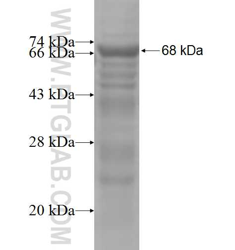 DUSP16 fusion protein Ag5479 SDS-PAGE