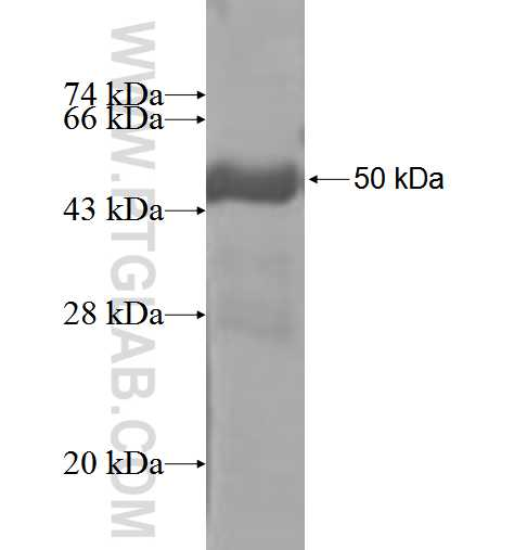 DUSP19 fusion protein Ag3611 SDS-PAGE