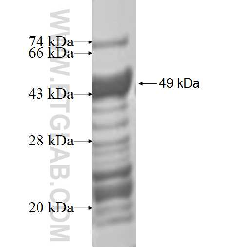 MKP-2 fusion protein Ag1206 SDS-PAGE