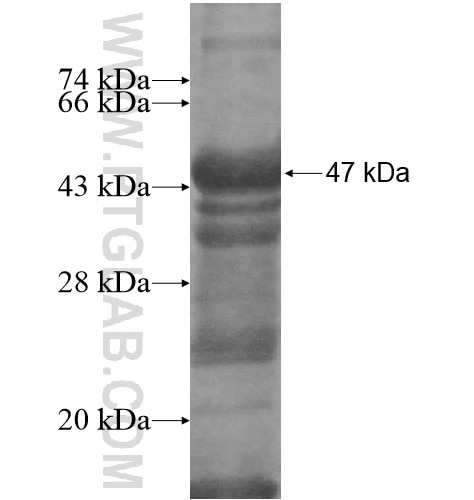 EIF2AK2 fusion protein Ag12854 SDS-PAGE