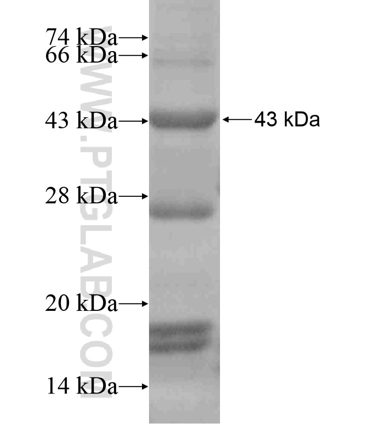 EIF3I fusion protein Ag18097 SDS-PAGE