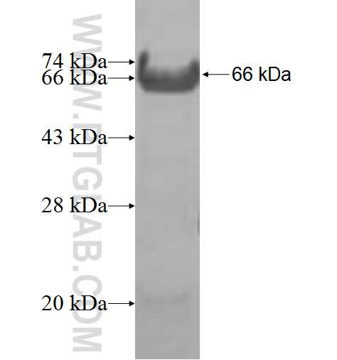 ELF4 fusion protein Ag8836 SDS-PAGE