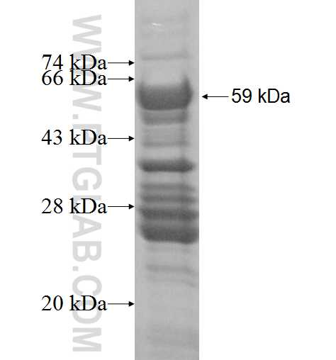 ELL2 fusion protein Ag3428 SDS-PAGE