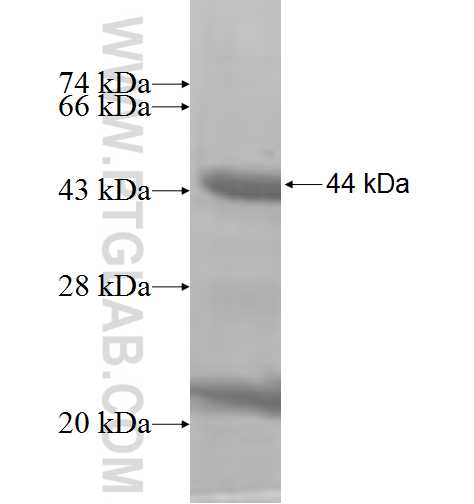 ETV1 fusion protein Ag10020 SDS-PAGE