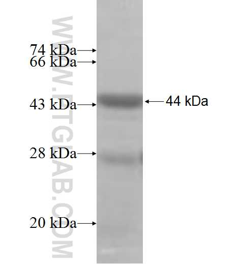 ETV1 fusion protein Ag10023 SDS-PAGE