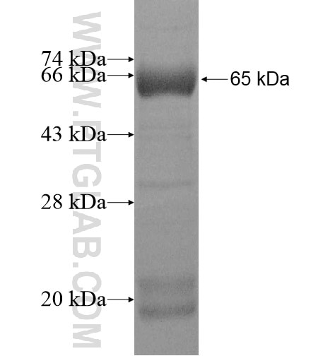 SEC10 fusion protein Ag11524 SDS-PAGE