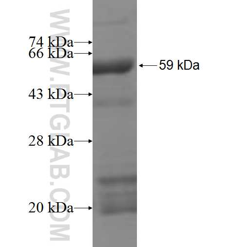 EXOSC2 fusion protein Ag6525 SDS-PAGE