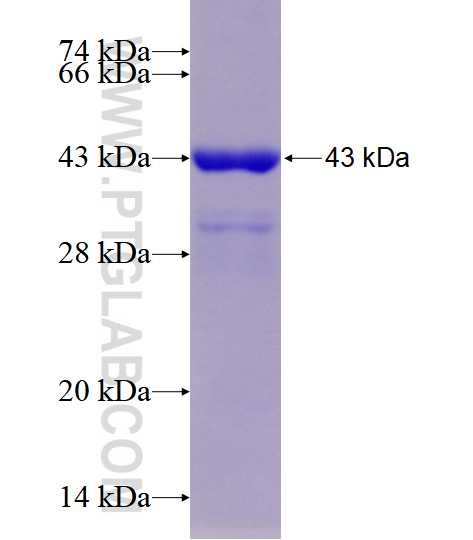 FAM98B fusion protein Ag17747 SDS-PAGE