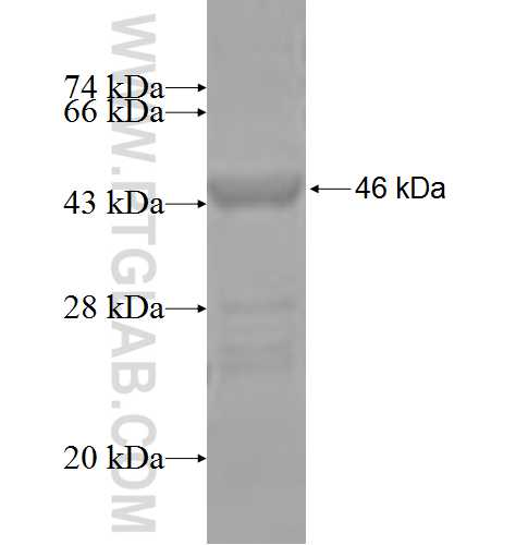 FAS fusion protein Ag3718 SDS-PAGE