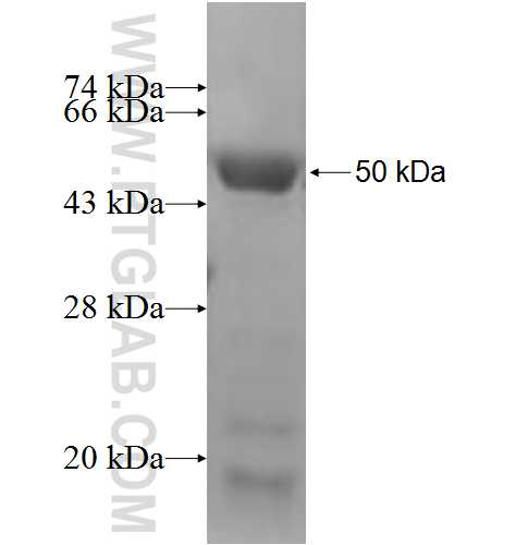 FBX4 fusion protein Ag5013 SDS-PAGE