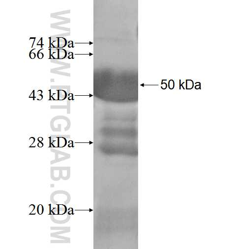 FDX1 fusion protein Ag3301 SDS-PAGE