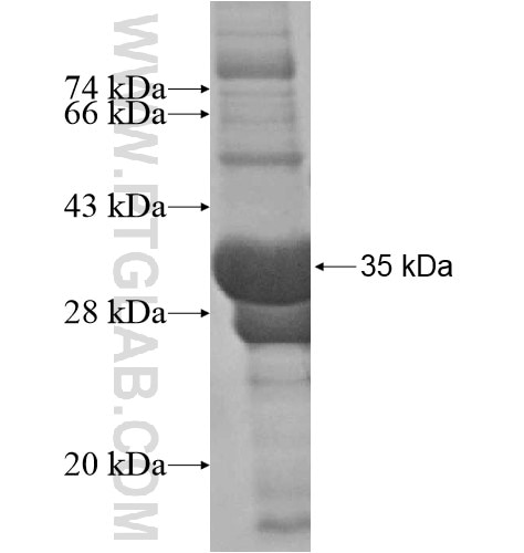 FGF14 fusion protein Ag15797 SDS-PAGE