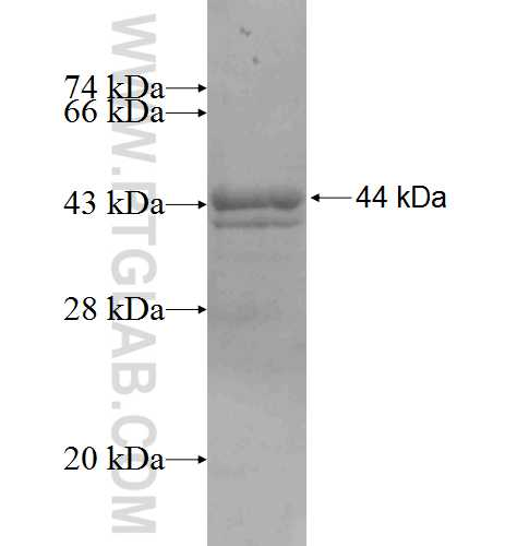 FGG fusion protein Ag8817 SDS-PAGE