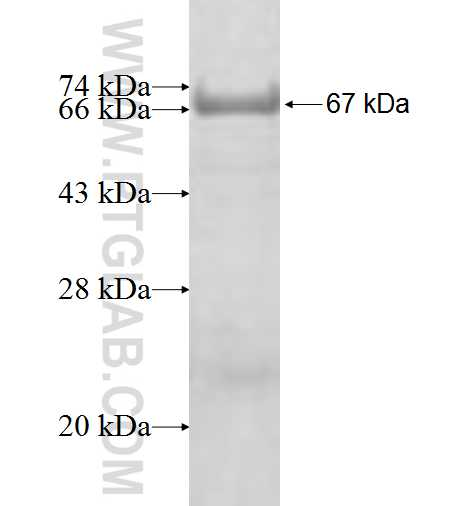FIBP fusion protein Ag8743 SDS-PAGE