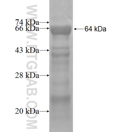 FNTA fusion protein Ag2918 SDS-PAGE