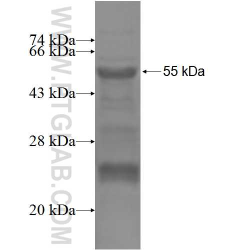 FOSL1 fusion protein Ag3344 SDS-PAGE