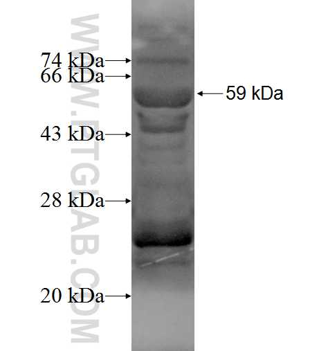 FOXG1 fusion protein Ag3426 SDS-PAGE
