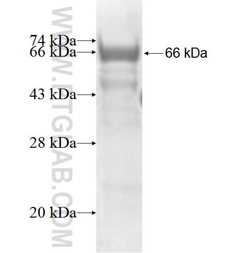 FOXN2 fusion protein Ag5126 SDS-PAGE