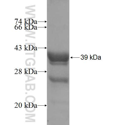 FXYD6 fusion protein Ag8538 SDS-PAGE