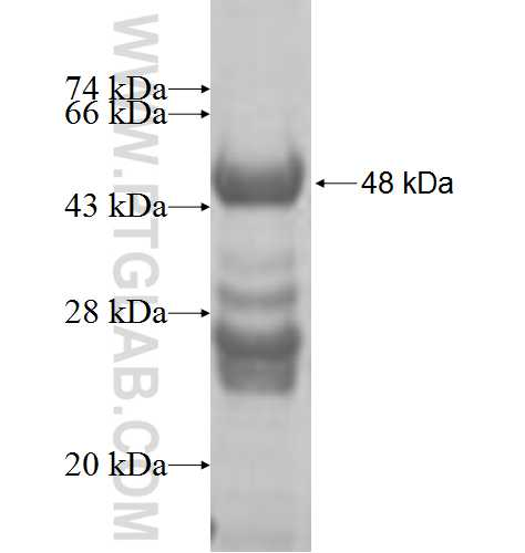 GALK1 fusion protein Ag7300 SDS-PAGE