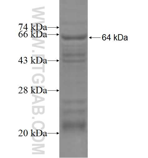 GALNS fusion protein Ag6746 SDS-PAGE