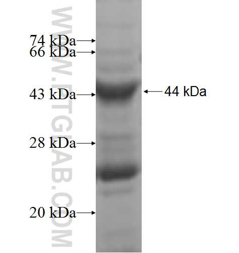 GALNT7 fusion protein Ag4936 SDS-PAGE