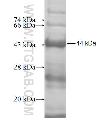 GAN fusion protein Ag5421 SDS-PAGE
