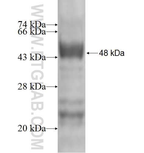GAR1 fusion protein Ag2282 SDS-PAGE