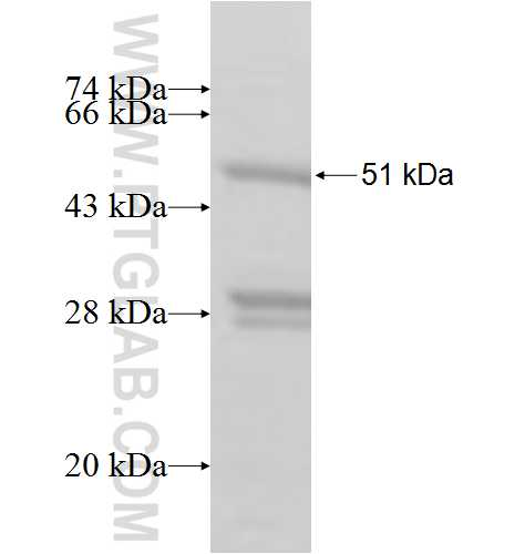 GINS3 fusion protein Ag8247 SDS-PAGE